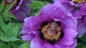 Spring chafer maybug on peony blossom Stock Images
