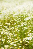Spring chamomile field Royalty Free Stock Photography
