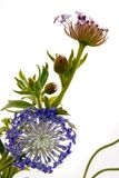 Spring Changes. Spring growth ... Pin Cushion Flowers Stock Photos