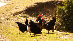 Spring chat. A bunch of roosters having a chat Royalty Free Stock Images