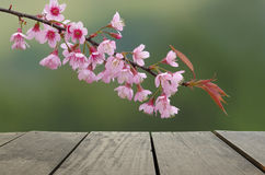 Spring cheery blossom on green background.  Royalty Free Stock Image