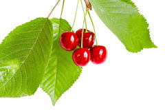Spring of cherries with berries and leaves. Spring of cherries with red ripe berries and green leaves, isolated on white background royalty free stock photos