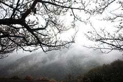 Spring. Cherry bloom in mountains with some fogs Stock Photography