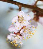 Spring cherry blossom Stock Photos