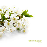 Spring cherry blossom Royalty Free Stock Image
