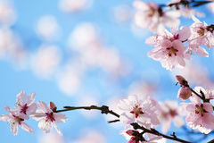 Spring cherry blossom Stock Images