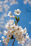 Spring cherry blossom against blue sky, close-up Stock Photography