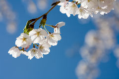 Spring cherry blossom against blue sky, close-up Royalty Free Stock Image