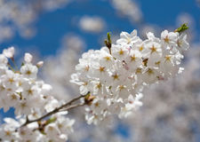 Spring cherry blossom against blue sky, close-up Royalty Free Stock Photos