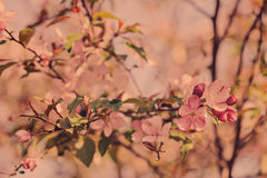 Spring cherry blossom background in vintage pastel tones Stock Photography
