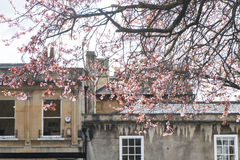 Spring cherry blossom in Bath. Cherry blossom tree over Georgian buildings in the City of Bath Royalty Free Stock Photos