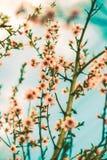Spring cherry blossom. Stock Photo