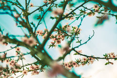 Spring cherry blossom. Stock Photography