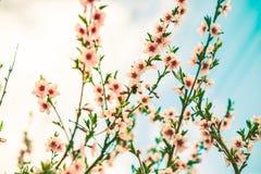 Spring cherry blossom. Royalty Free Stock Photos