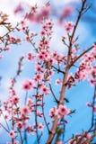 Spring cherry blossom. Royalty Free Stock Photo