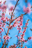 Spring cherry blossom. Royalty Free Stock Photography