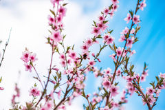 Spring cherry blossom. Royalty Free Stock Image