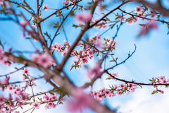 Spring cherry blossom. Stock Images