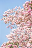 Spring cherry blossom. Blooming pink trumpet tree, light blue-sky background. Sweet pink flowers in full bloom royalty free stock image