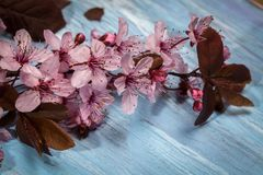 Cherry blossom on rustic wooden backkground. Spring cherry blossom on blue rustic wooden backkground Royalty Free Stock Photography