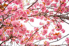 Spring cherry blossom blur background. Beautiful spring cherry blossom blur background Stock Photo
