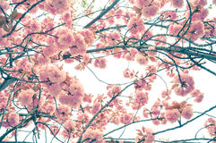 Spring cherry blossom blur background. Beautiful spring cherry blossom blur background Stock Image
