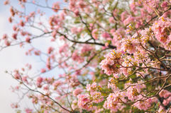 Spring cherry blossom blur background. Beautiful spring cherry blossom blur background Royalty Free Stock Photo