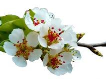 Spring cherry blossom Royalty Free Stock Photo