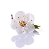 Spring cherry blossom branch with single white flower. Isolated on white background royalty free stock photography