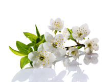 Spring cherry blossom branch with white flowers, buds and green leaves. Isolated on white background stock photo