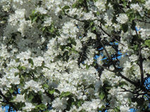 Spring cherry blossom on the branches of a tree Royalty Free Stock Images