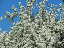 Spring cherry blossom on the branches of a tree Royalty Free Stock Image