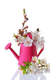 Spring cherry blossom branches with white flowers, buds and green leaves in pink watering can Stock Photography