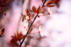 Spring cherry blossom Stock Photography