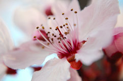 Spring Cherry Blossom. Close up of Spring Cherry Blossom - focusing on the center of the flower Stock Photography