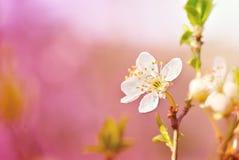 Spring cherry blossom Stock Image