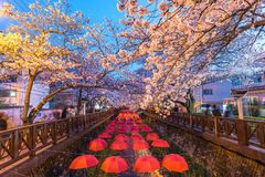 Jinhae sakura festival South Korea Stock Images