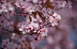 Spring cherry blossom. Fresh spring cherry blossom tree Stock Photos