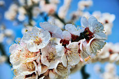 Spring: Cherry Blossom Royalty Free Stock Photography