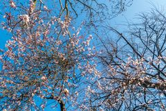 Spring, cherry blossom, full of trees, cut against the blue sky stock images
