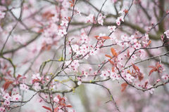 Spring cherry blossom. Gentle and bright spring cherry blossom Royalty Free Stock Image