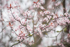 Spring cherry blossom. Gentle and bright spring cherry blossom Royalty Free Stock Images