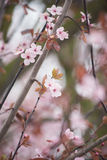 Spring cherry blossom. Gentle and bright spring cherry blossom Royalty Free Stock Photos