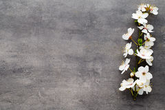Spring cherry blossom on the gray background. Royalty Free Stock Photography