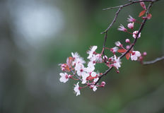 Spring cherry blossom on green background Royalty Free Stock Photo