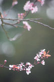 Spring cherry blossom on green background Royalty Free Stock Images
