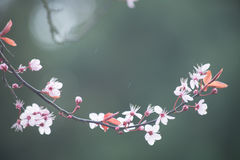 Spring cherry blossom on green background. White spring cherry blossom on green background Stock Images