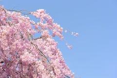 Spring cherry blossom,Japan Stock Photos