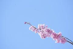Spring cherry blossom,Japan Stock Photo