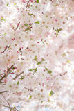 Spring Cherry Blossom Royalty Free Stock Photos